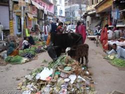 バナラシの牛
