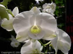 Dendrobium Masako Kotaishi Hidenka