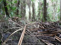 熱帯雨林木道